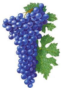 Cabernet Sauvignon wine grapes