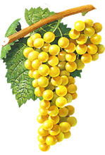 Chardonnay wine grapes
