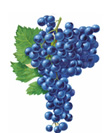 Merlot Wine Grapes