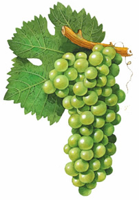 Sauvignon Blanc wine grapes